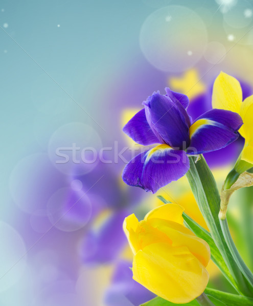 spring narcissus and iris Stock photo © neirfy