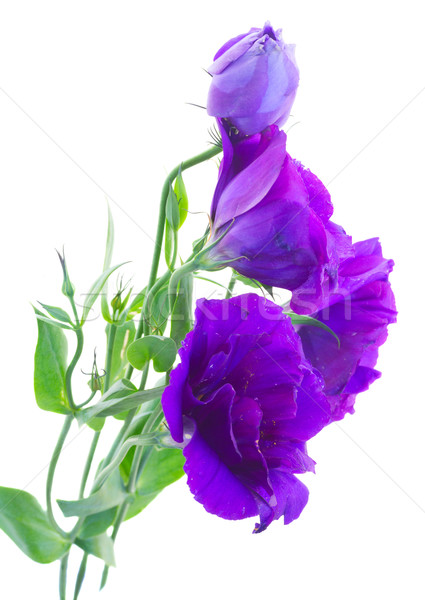 bouquet  of  violet eustoma flowers Stock photo © neirfy