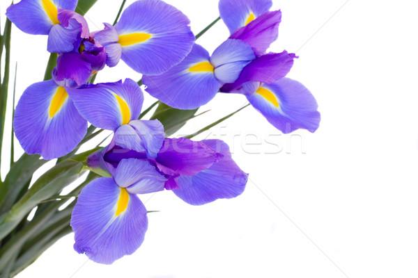 Bleu fleurs isolé blanche fleur nature Photo stock © neirfy
