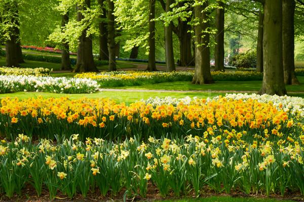 Сток-фото: нарциссов · весны · саду · трава · газона · желтый