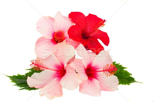 гибискуса цветы изолированный белый любви Сток-фото © neirfy