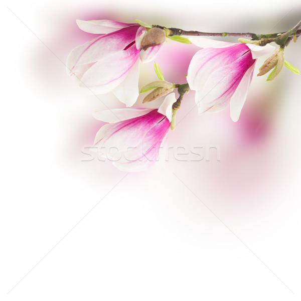 Pembe manolya ağaç çiçekler taze beyaz Stok fotoğraf © neirfy