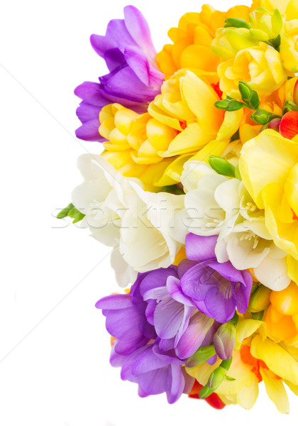 スイセン 花 白 青 黄色 新鮮な ストックフォト © neirfy