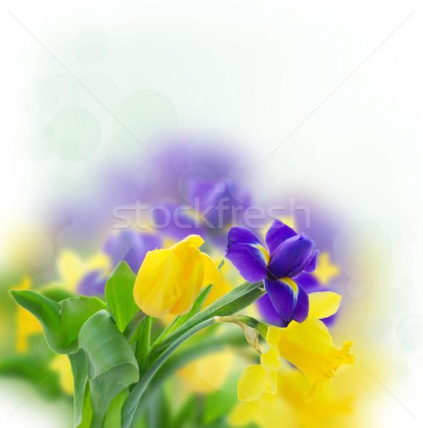 Primavera iris amarillo narcisos azul blanco Foto stock © neirfy