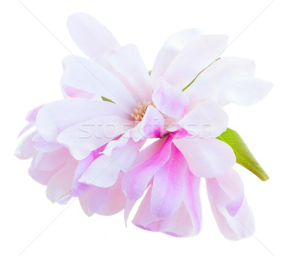 Pembe manolya çiçekler Stok fotoğraf © neirfy