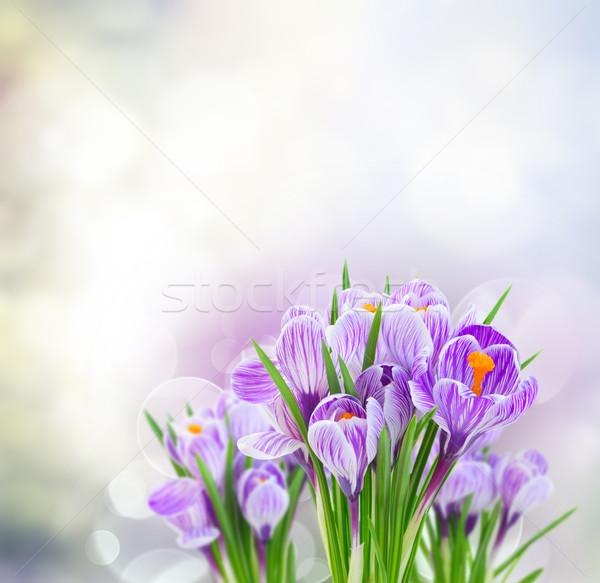Viola crocus fiori grigio primavera bokeh Foto d'archivio © neirfy