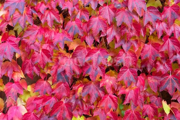 Cădea roşu frunze toamnă luminos iederă Imagine de stoc © neirfy