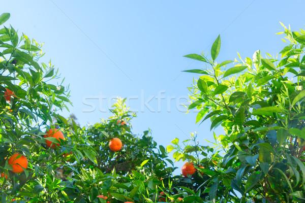 Tangerine tree garden Stock photo © neirfy