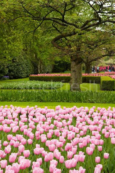 spring tulips field Stock photo © neirfy