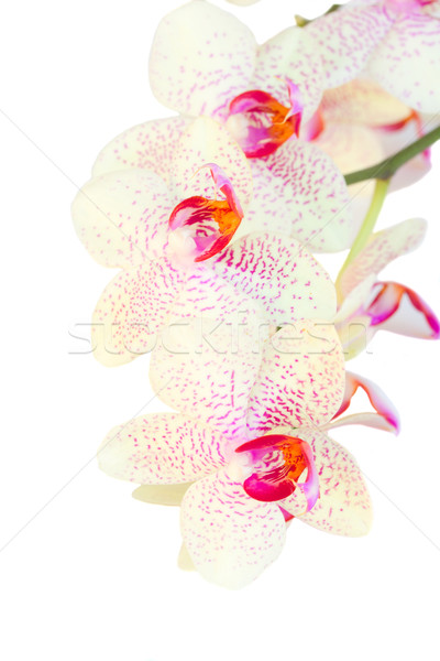 Stock photo: white with violet orchid flowers branch close up