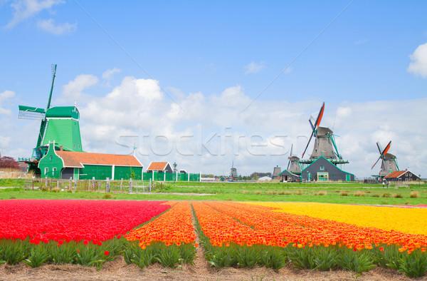 Сток-фото: голландский · цветок · полях · Tulip · Голландии