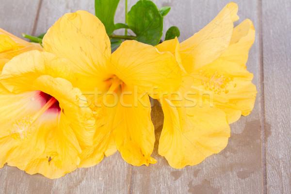 красочный гибискуса цветы свежие желтые цветы Сток-фото © neirfy