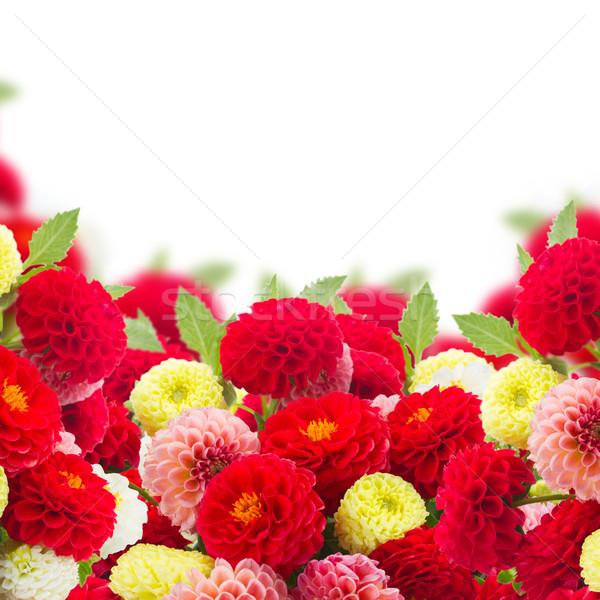 Dalya çiçekler sınır beyaz arka plan Stok fotoğraf © neirfy
