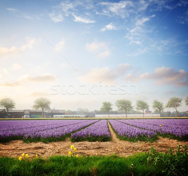 Hollanda bahar sümbül çiçekler alan mavi Stok fotoğraf © neirfy