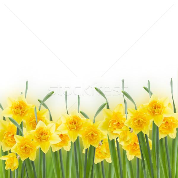spring daffodils on white Stock photo © neirfy