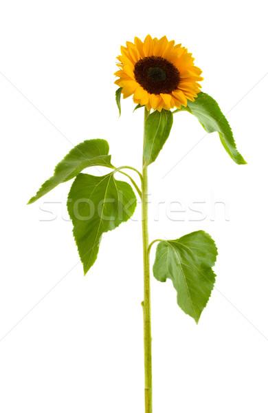 on esunflower Stock photo © neirfy