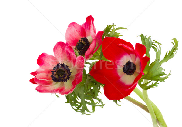 posy of anemone flowers Stock photo © neirfy