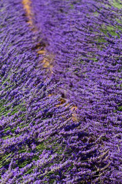 ラベンダー畑 花 フランス 自然 夏 ストックフォト © neirfy