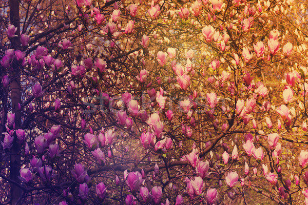 Blooming magnolia, retro toned Stock photo © neirfy