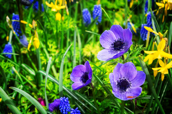 Anemone and daffodils lane Stock photo © neirfy