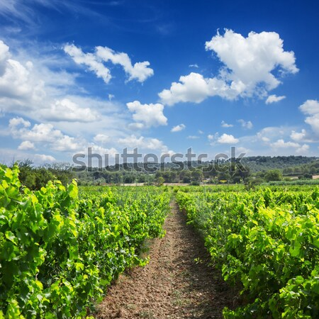 Stock photo: Vineyard