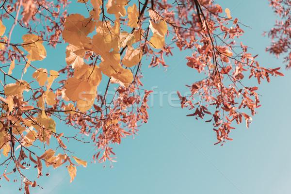 Vibrante caída follaje amarillo dorado árbol Foto stock © neirfy