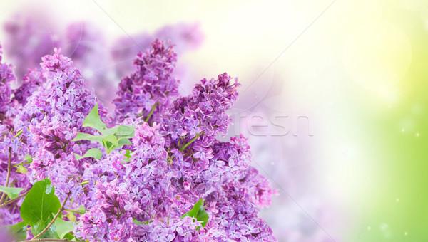 Arbusto roxo flores verde jardim Foto stock © neirfy