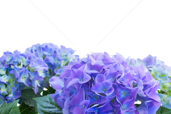 border of blue hortensia flowers Stock photo © neirfy