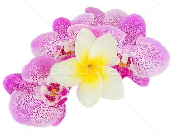 Stok fotoğraf: Pembe · orkide · çiçekler · yalıtılmış · beyaz