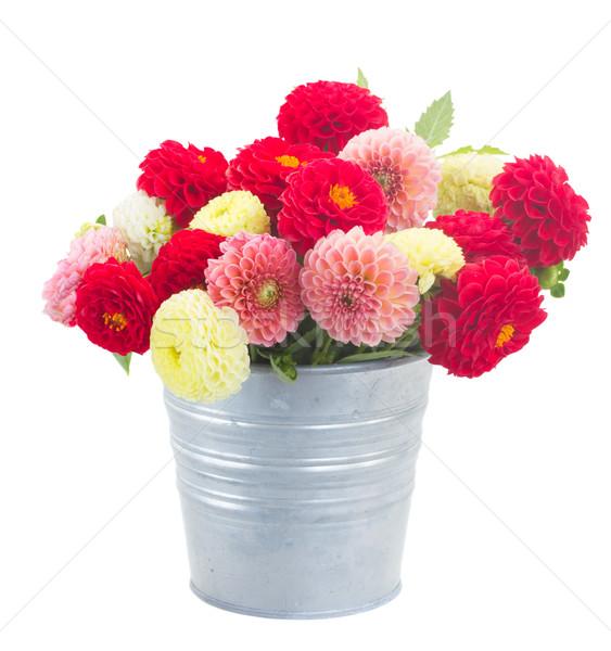 Dalya çiçekler Metal pot yalıtılmış Stok fotoğraf © neirfy