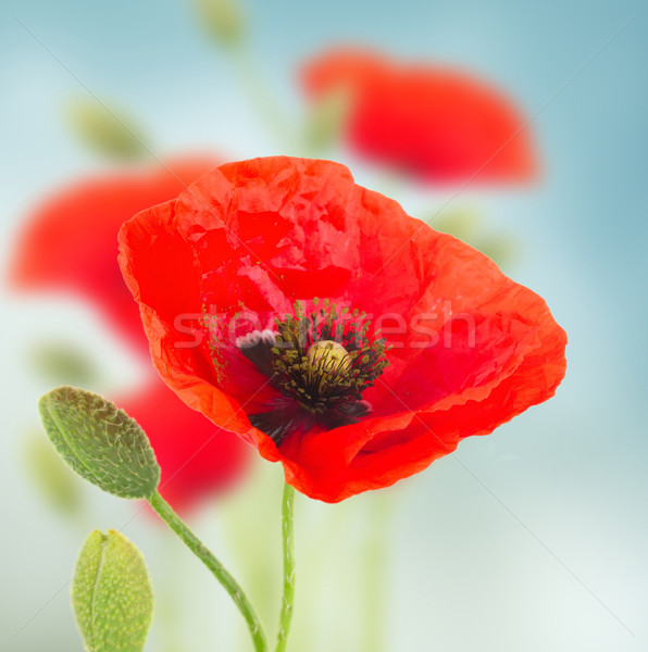 Poppy flowers Stock photo © neirfy
