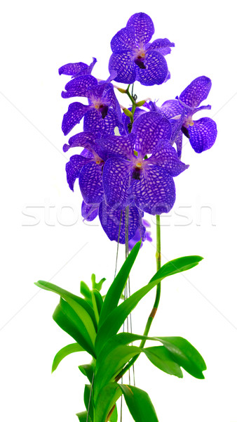 Bunch of blue  orchids  Stock photo © neirfy