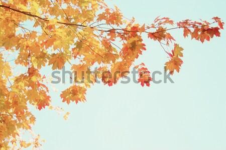 Foto stock: Vibrante · caída · follaje · naranja · roble · pálido