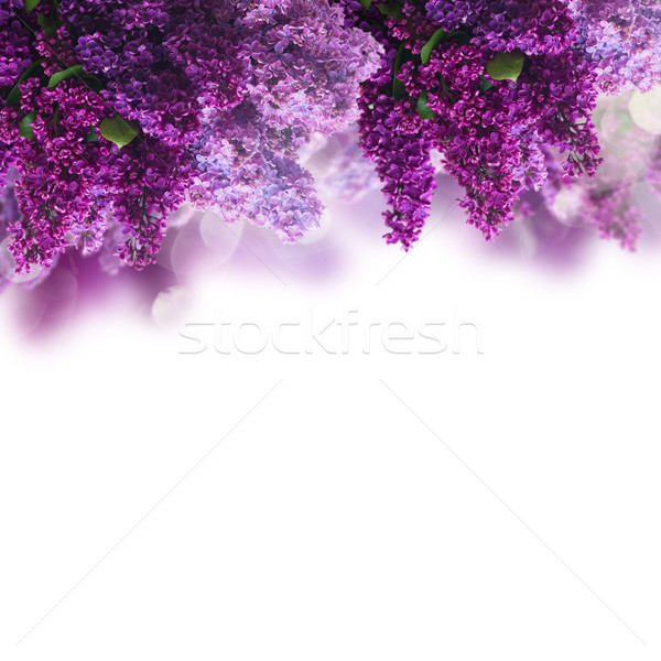 Lilac flowers on white Stock photo © neirfy