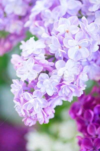 сирень дерево цветы макроса Сток-фото © neirfy