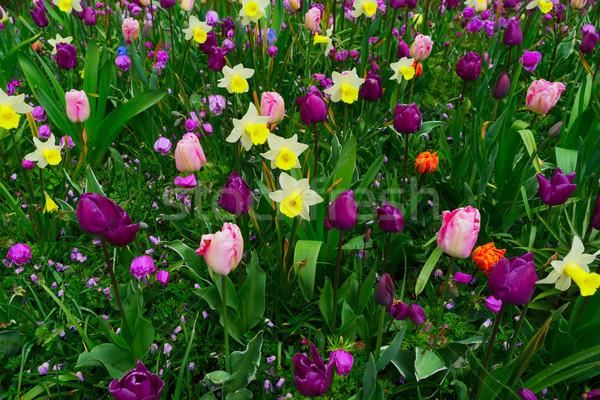Narcisos tulipas fresco amarelo primavera crescente Foto stock © neirfy