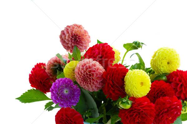 Dalia kwiaty bukiet mieszany odizolowany biały Zdjęcia stock © neirfy