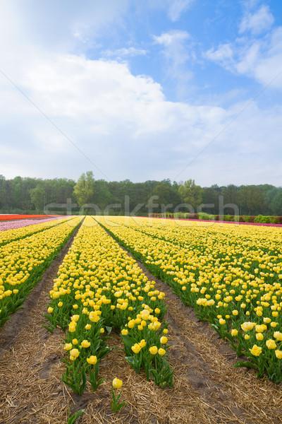 Stok fotoğraf: Hollanda · çiçek · alanları · sarı · lâle · alan