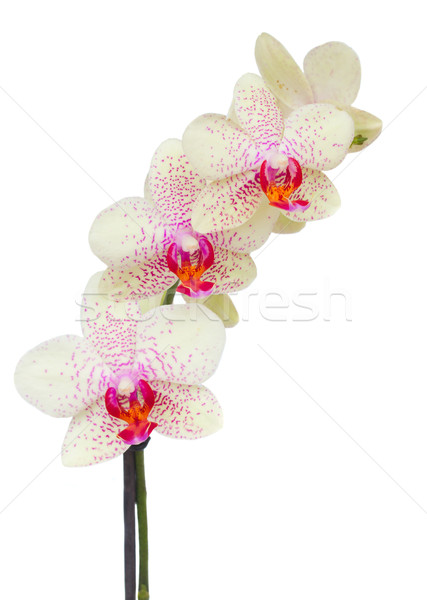 white with violet orchid flowers branch Stock photo © neirfy