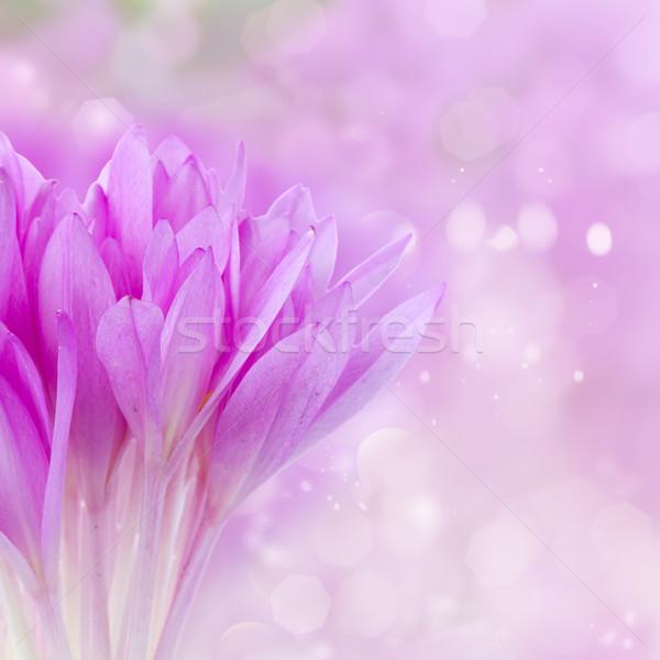 Crocus fiori viola prato zafferano fiore Foto d'archivio © neirfy