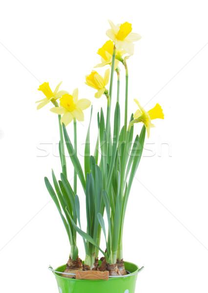Voorjaar groeiend narcissen geïsoleerd witte achtergrond Stockfoto © neirfy