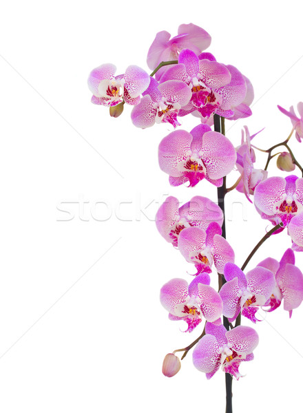 pink  orchid branch border Stock photo © neirfy