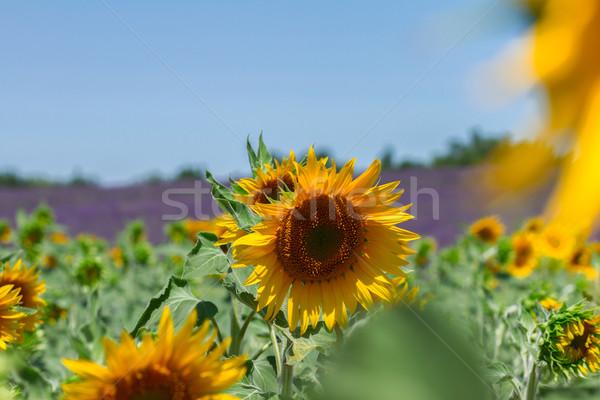 Zonnebloem lavendel veld vers bloemen Frankrijk natuur Stockfoto © neirfy