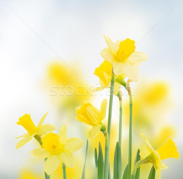 Primavera narcisos jardim azul bokeh páscoa Foto stock © neirfy