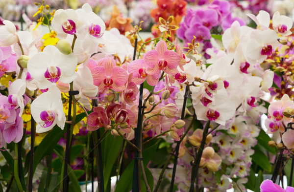 Bunch of orchids  Stock photo © neirfy