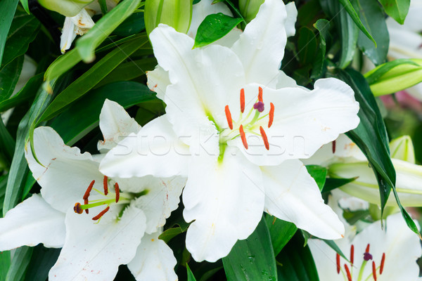 White lilly flowers Stock photo © neirfy