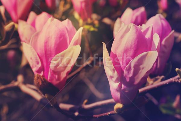 Magnolia drzewo kwiaty świeże różowy Zdjęcia stock © neirfy