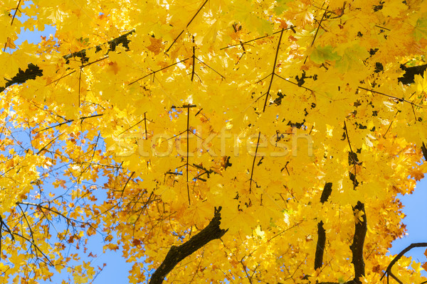 Dynamique automne feuillage jaune or érable Photo stock © neirfy