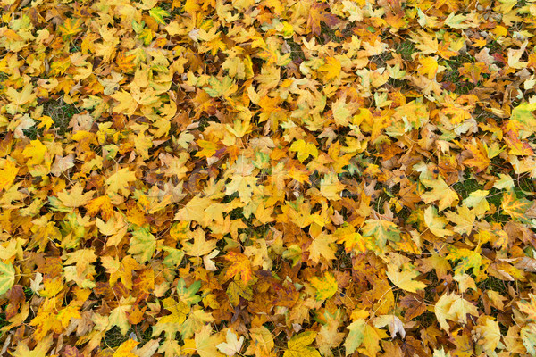 Maple tree fall leaves background Stock photo © neirfy