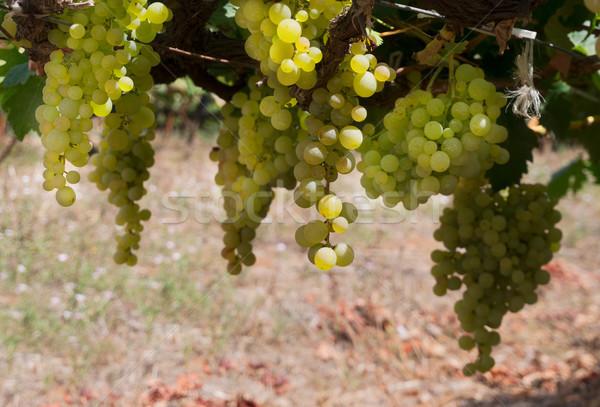 Wijngaard groene groeiend witte druif Stockfoto © neirfy